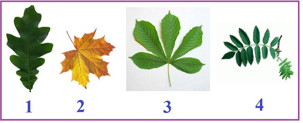 связан картинки листов клена березы дуба всего